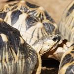 Több ezer, súlyosan veszélyeztetett teknőst zsúfoltak egy házba - elképesztő fotók
