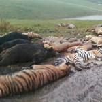 Drámai fotó: kiterítették az elszökött vadállatok tetemét