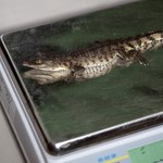 Ötven krokodilt kapcsoltak le a londoni repülőtéren
