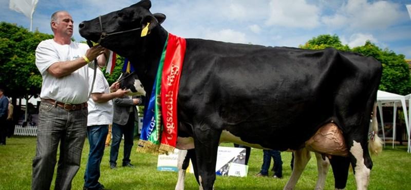 A biharnagybajomi, jó tőgyszerkezetű Göndör lett az ország legszebb tehene (fotók)