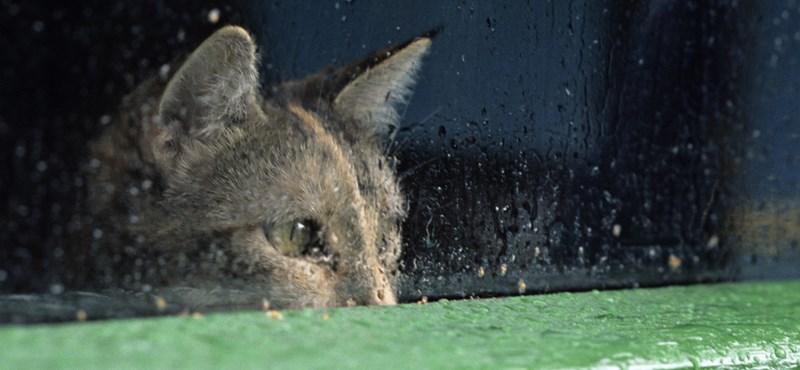 Betépett a macska, mert felzabálta a gazdi kannabisz-ültetvényét - videó