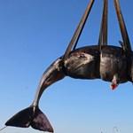 22 kiló műanyag hulladékot találtak egy partra vetődött bálna gyomrában