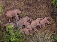 Feladja a leckét az elefántkutatóknak a Kínát keresztül-kasul bejáró csorda