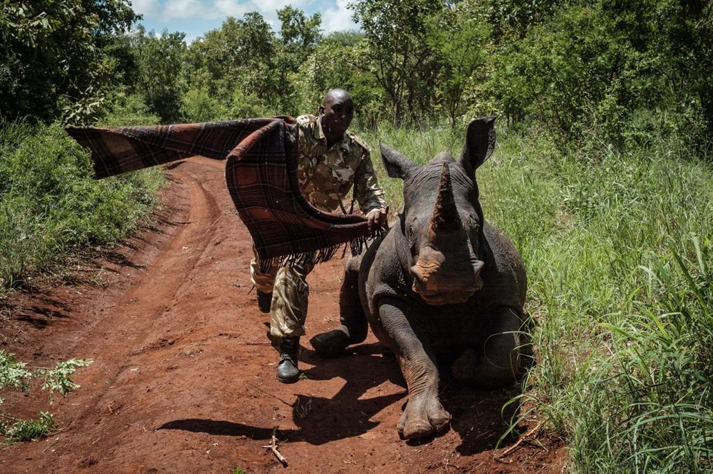 afp.18.04.05. A kenyai vadőr megpróbálja eltakarni a 2,5 éves nőstény orrszarvú szemét, hogy megnyugodjon