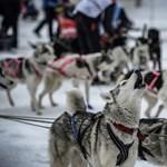 Keresztbe tett az enyhe tél a világ legkeményebb kutyaszánversenyének