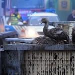 Fotók: Ezer kacsa pusztult el ma reggel Ópusztaszernél