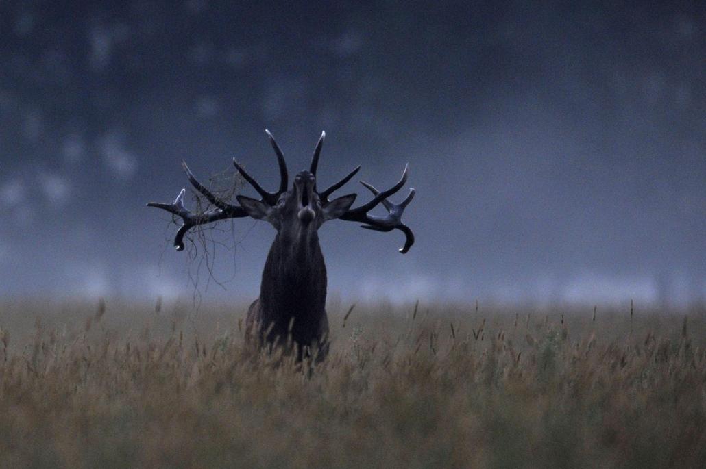 mti.14.09.19. - MTI, Szarvasbőgés a lábodi erdészetben, vadásza