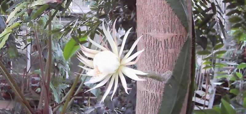 Kinyílt és megbüdösödött a különleges kaktusz a briteknél, amely mindössze 12 óráig él
