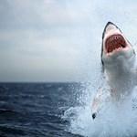 Fehér cápa támadt az életmentőre