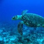 Negyvenöt év alatt nő fel egy tengeri teknős