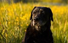 Nem adnak örökbe kutyákat Debrecenben, mert félnek, hogy csak a kijárási tilalom miatt viszik el őket
