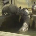Videó: Kimentették vízbe esett társukat a kis fehértigrisek