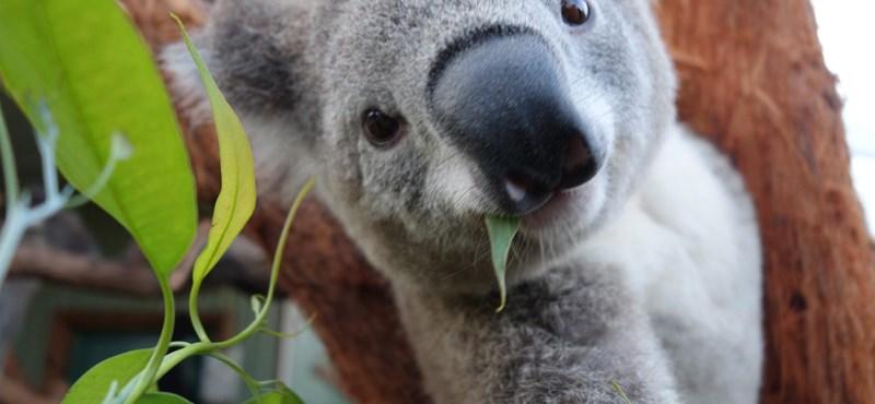 Fotók: Bemutatták Budapest első két koaláját