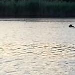 Már Békés megyében járhat a Holt-Tiszában pancsoló medve