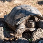 Több mint száz éve kihaltnak hitt óriásteknősre bukkantak a Galápagos-szigeteken