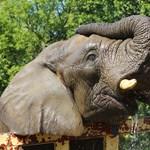 Orvosi marihuánát kapnak a stresszes elefántok a varsói állatkertben