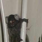 Selyemmajom szökött be egy budai lakásba