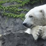 Szívszorító hír: drámaian csökkenhet a jegesmedvék száma