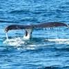 Atombomba-robbanást kerestek, ismeretlen bálnákat találtak Ausztráliában