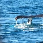Új bálnafajt találtak, máris veszélyeztetettnek nyilvánították