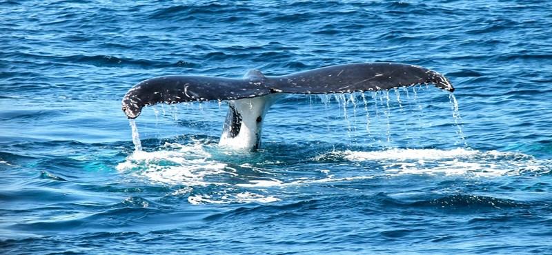 Van, hogy percenként csak kettőt ver a kék bálna szíve