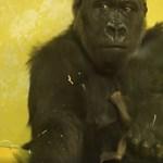 Egyes látogatók miatt lezárta az Emberszabású házat az állatkert