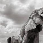 Lenyűgöző fotókkal búcsúztak a 60 éves óriás agyarú elefánttól