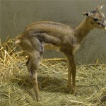 Elképesztően bájos a budapesti antilopborjú – fotók