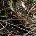 Csapdába esve találtak rá egy kihalás fenyegette szumátrai tigris tetemére
