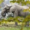 Az elefántpapa visszatért családjához, Nyíregyházára
