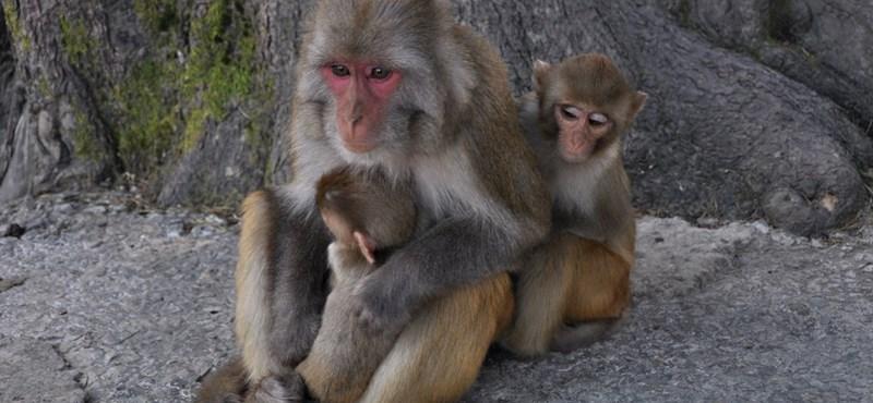 Majmoknál már működik a férfi-fogamzásgátló