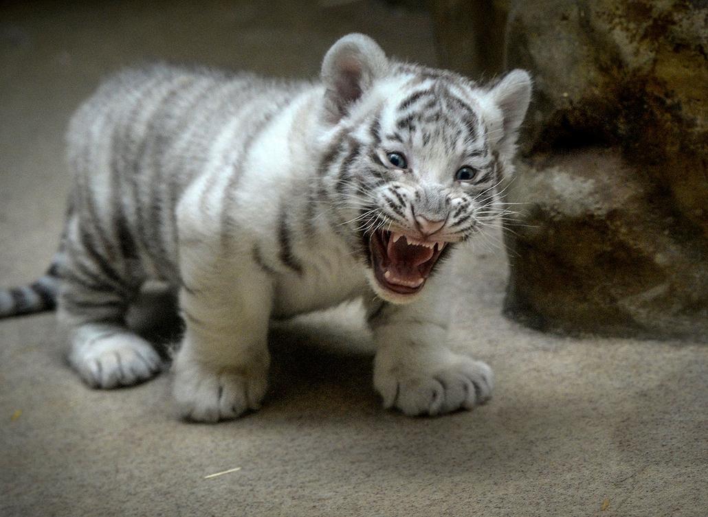 AFP - Nagyítás - Állati 2016 - 16.12.31. - Két hónapos a cseh libereci állatkert fehér tigrise, de láthatóan arra készül, hogy rettenetesen fenyegető legyen.