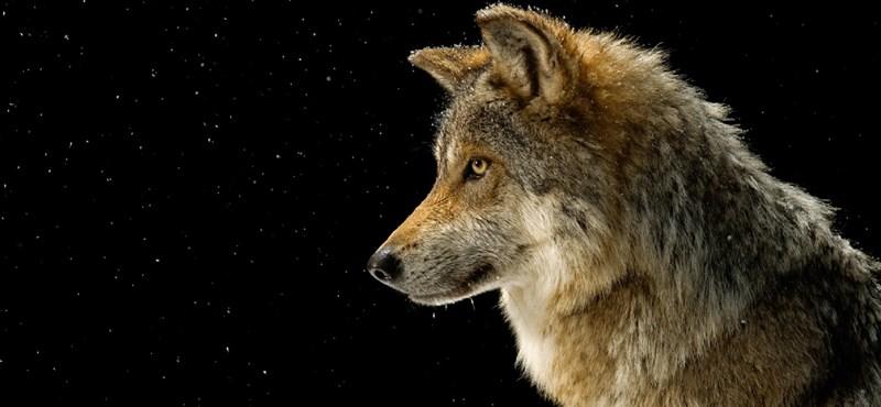Rossz hír a Piroskáknak: egyre több a hibrid farkas Németországban