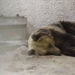 """""""Én csak a békától félek, a medvétől nem"""" – így élték meg a maci ámokfutását a csongrádiak"""