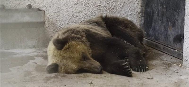 Nincs jó passzban Robi, a medve
