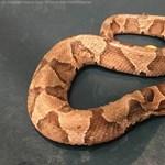 Látott már kétfejű kígyót? – Virginiában most találtak egyet