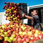 Gyatra a magyar alma, de ekkora pofonra nem számítottak a termelők