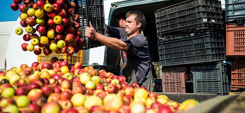 Az almatermesztők kipréseltek a feldolgozóból 7 forintot