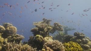 Reményt adhat, hogy a rendkívüli hőmérséklet-emelkedést is kibírják korallok