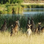Kolbász kenguruból? A vámosok lekapcsolták a vébére érkező ausztrál csemegét