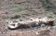 Lelőttek egy farkast a Bükkben