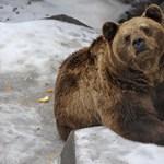 Pénteken jósolnak a medvék, kiderül, meddig marad még a tél