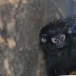Fotó: aranykezű tamarinok születtek Szegeden