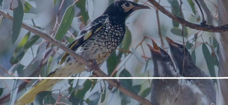 Egy kihalás szélére sodródott madárfaj kezdi elfelejteni a párkereső énekét