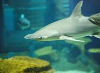 Kiderült, miért képes egy cápa akár 20 ezer kilométert is megtenni teljesen ugyanazon az útvonalon