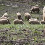 Beiskolázták a birkákat egy francia faluban, mert nem volt elég diák