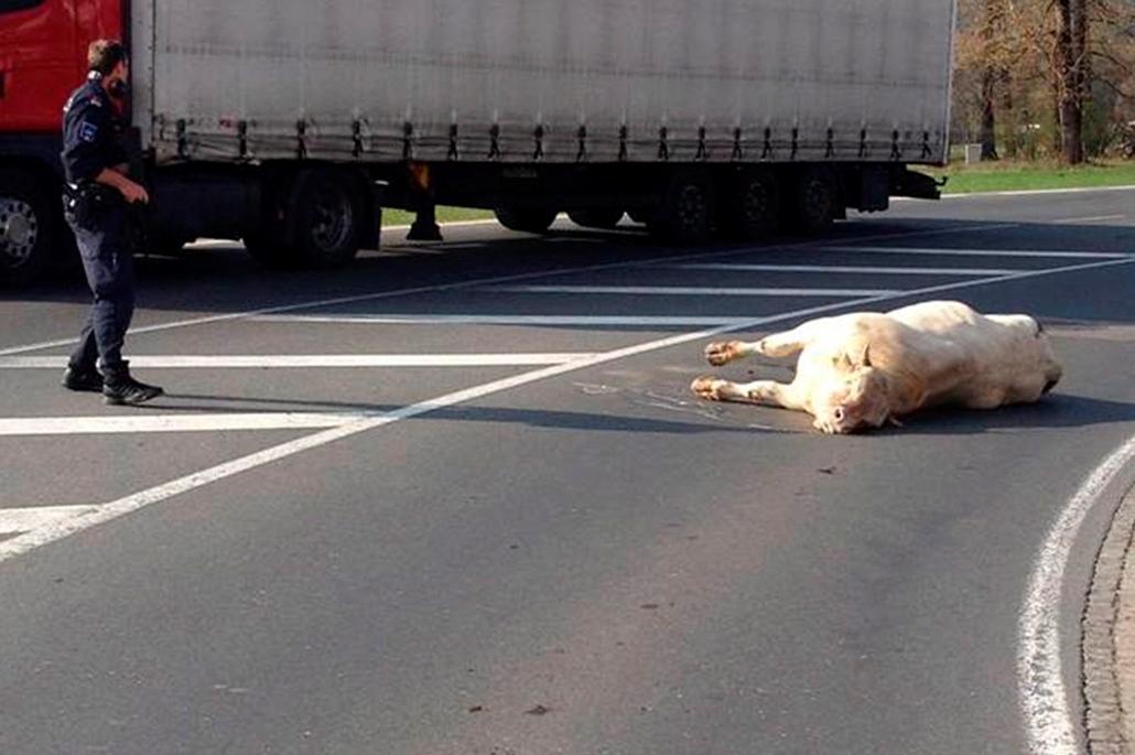 epa.14.04.02. - Bikatámadás Ausztriában - halott bika a dél-karintiai Villach egyik útján - Sajtóértesülések szerint a bika, miután megszökött a vágóhídról, megtámadott két rendőrautót, majd megsebesített egy fiatal nőt. A rendőrök végül lelőtték a megvad