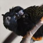 Aranykezű, dél-amerikai apróságok születtek a debreceni állatkertben