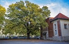 90 éves kaposvári fa lett az Év fája