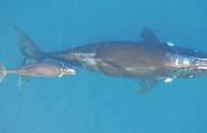 Nyomkövetőt szereltek hat bálnára, itt ön is nézheti, merre vándorol a csapat